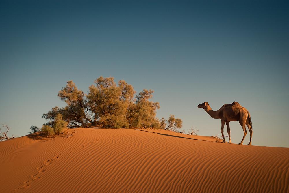 camel trek in morocco sahara desert
