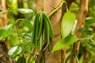 Vanilla plant and green pod in the fores