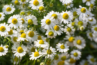Closed up of Chamomile gardenfield a lit