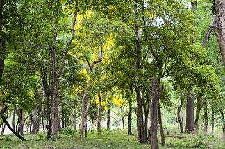 Sandalwood forest at Marayoor, near Munn