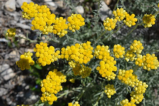 Helichrysum italicum, also known as Curr