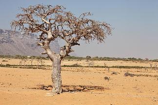 myrrh tree (Commiphora myrrha is a tree