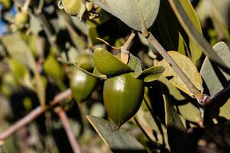 Female jojoba plant with large green fru