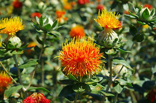 Blooming of the beautiful safflower.jpg