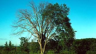 elm-tree-dying-of-dutch-elm-disease-alamy-dwh9p2-winston-fraser.jpg