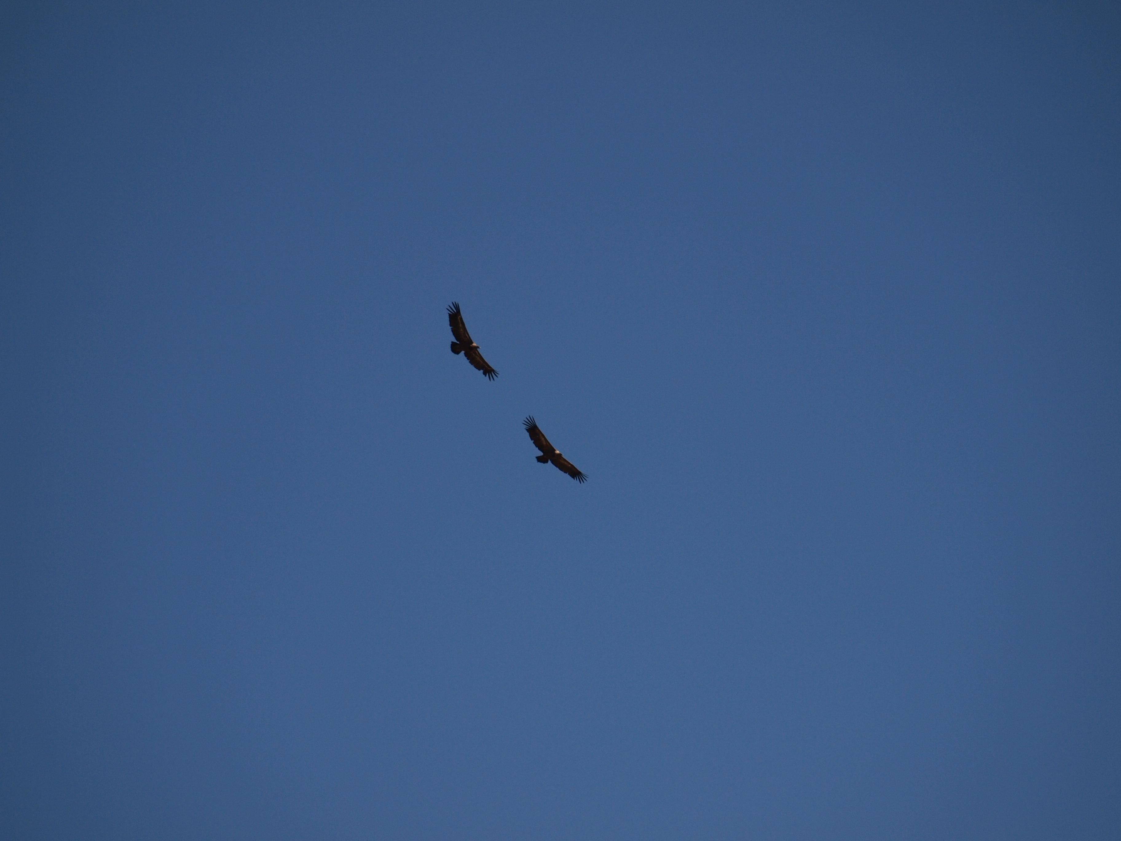 grifon vultures