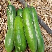 20160616_cucumbers.jpg