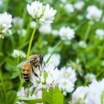 bee-on-dutch-white-clover.jpg