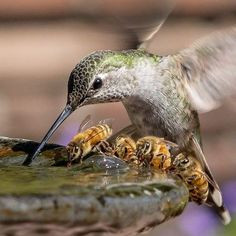 hummingbird bees at water.jpg