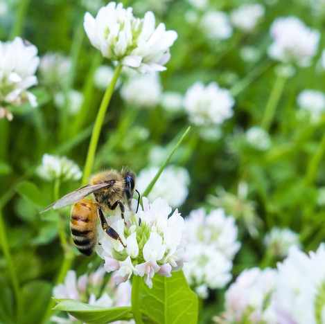 bee-on-dutch-white-clover.jpg