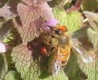 bee on dead nettle.jpg