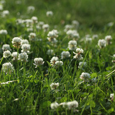 dutch-white-clover-2.jpg