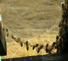 Bee chain.jpg
