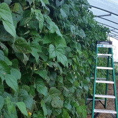 20160927_green beans.jpg