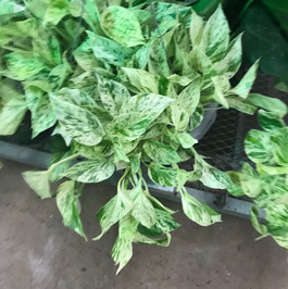 Snowy variegated pothos