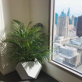 Areca Palm in Downtown Chicago