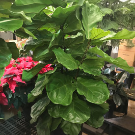 Giant fiddle fig!