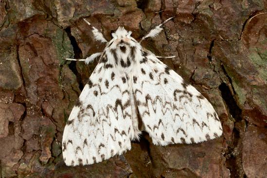 Lymantria monacha