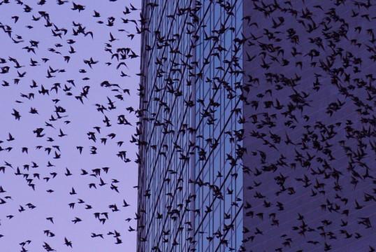Sturnus vulgaris attorno al grattacielo Pirelli