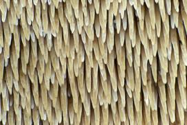 Sarcodon imbricatus, imenoforo