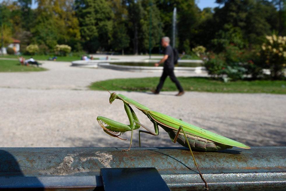 Mantis religiosa - Giardini I. Montanelli, Biolab - 02-10-2021 - 02.jpg