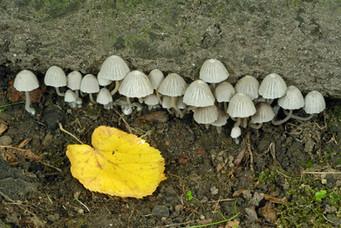 Coprinellus disseminatus