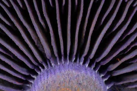 Cortinarius violaceus, imenoforo
