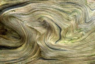 Venature su radici di Picea abies