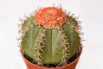 Melocactus sp.