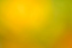 Liriodendron tulipifera - colori d'autunno