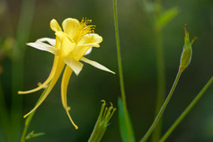 Aquilegia chrysantha cv. 'Yellow Queen'
