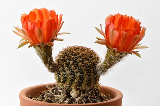 Echinopsis haematantha kuehnrichii