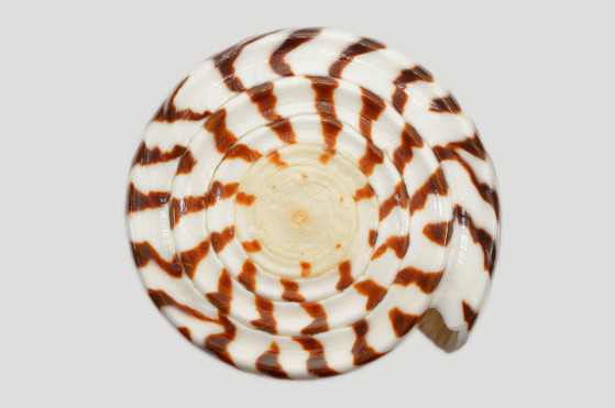 Conus litteratus