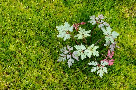 Geranium robertianum nel muschio