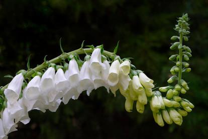Digitalis purpurea cv. 'Snow Thimble'
