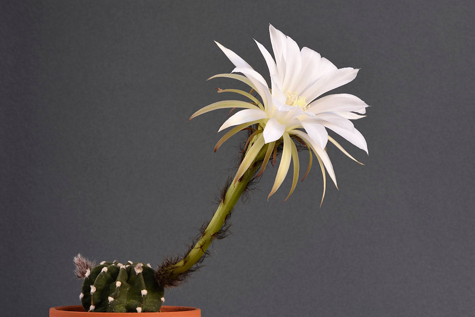 Echinopsis subdenudata 1.jpg