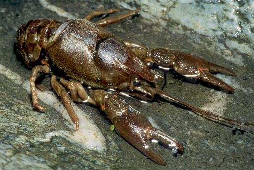 Austropotamobius italicus