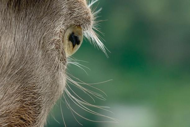 Occhio di capra