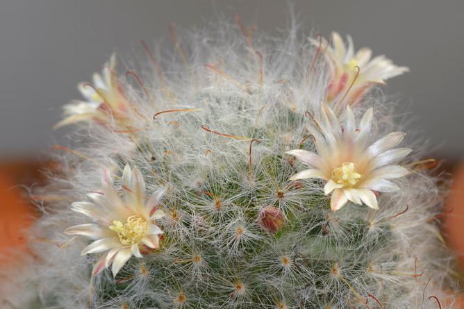 Mammillaria cobasana