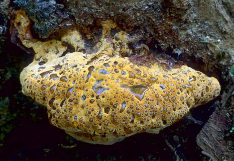 Pseudoinonotus dryadeus