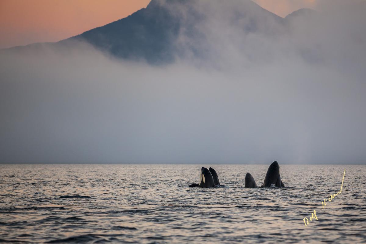 Orcas Johnstone Strait sunset