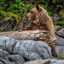 Cute grizzly bear cub on log