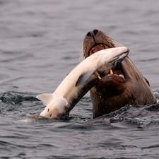 steller sea lion salmon