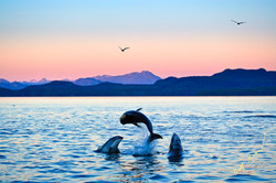 dolphins jumping sunset