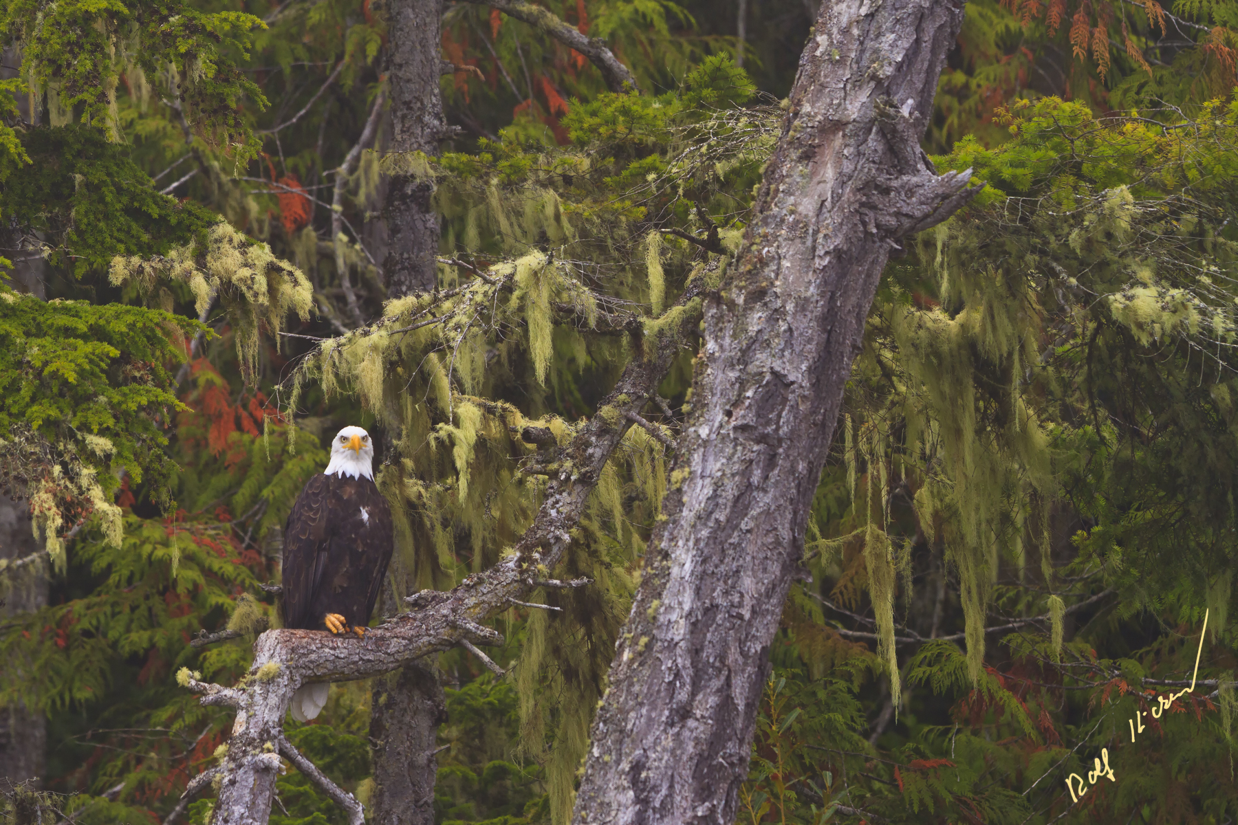 bald eagle rain forest