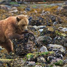 Grizzly bear rolling rocks