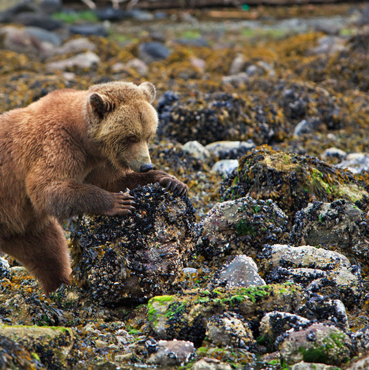 Grizzly bear rolling rocks