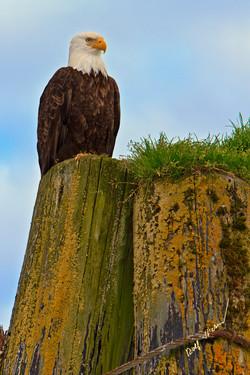 Bald eagle piling