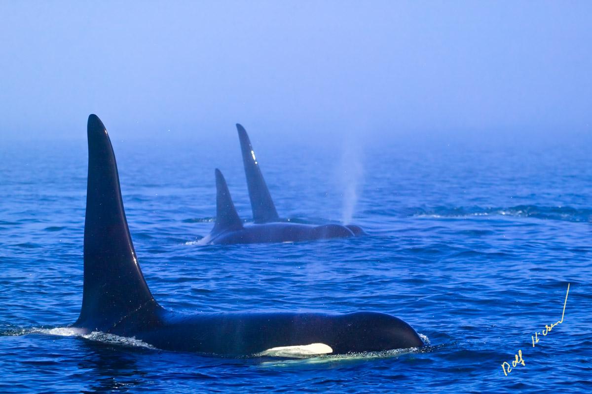 Killer whale family fog