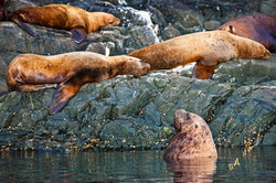 sea lions shore